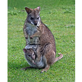wallabie wild animals