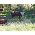CzechRepublic Bohemia cattle