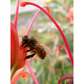 Bee Buzz Grevillea Plant Flower Tongue