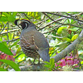 May 8, 2008, California Quail