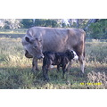 Murray Grey cow with Berties calf at foot