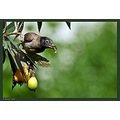 A Spectacled Bulbul enjoying the Loquat fruit,