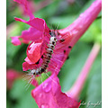 caterpillar maiylah fouroclock flower
