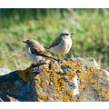 wheatear chicks northam burrows devon carlsbirdclub