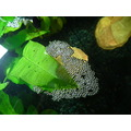 aquarium bubble nest