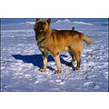 sleigh dog ice snow greenland