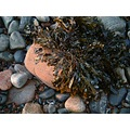 Sea weed on a stone