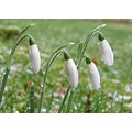 snowdrop melting snow garden flower flowers macro