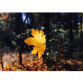 complucky maple leaf autumn usa new jersey