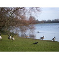 Nottingham park lake geese birds