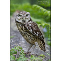 little owl bird nature prey