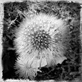dandelion weed black and white colgdrew