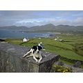 IRELAND BEARA PENNINSULA DOG