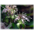 beebalm wildbergamot wildflower pink nature