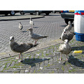 city seagulls scheveningen holland