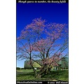 stlouis missouri usa spring seasons color tree flowers vibrant 031812