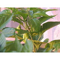 Habanero pepper plant green