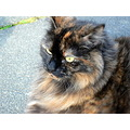 Pets Cats Maine Coon Animals Feline