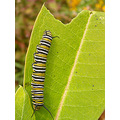 naturefph thacher nature center autumn monarch caterpillar milkweed