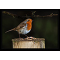 Robin bird red breast