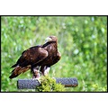 bird golden eagle