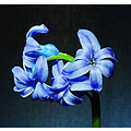 spring flower hyacinth blue green macro