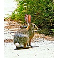 CottonTail Rabbits Animals roncarlin