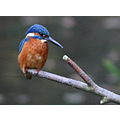 Kingfisher bird rspb fairburn yorkshire