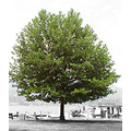 tree blackandwhite colour green Kelowna