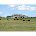 Buffalo at the the Wichita Mountains,Lawton Oklahoma... this is not a zoo they are free roaming w...