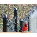 cardinal party on my back deck