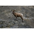 Mountain sheep in the Rockies