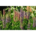 lupins english country garden flower colour color nature
