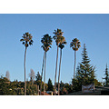 palmtrees palms tree trees winter view oakland myoaklandfph bluesky