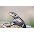 Lizard from our Africa Trip, 2009