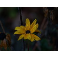 flower rain blackeyedsusan