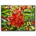 Azalea Plant Flower Shrub Bush Macro HDR Tamron18270mm Aloha Oregon