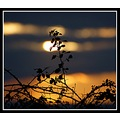 bramble bush silhouette sun sunset nature martock somerset somersetdreams