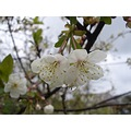 cherry blossoms waterdrops spring