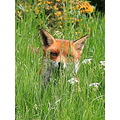 Foxy in the long grass