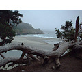 Foggy View through Cypress, at Mendocino Headlands State park
