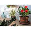 compthree red hibiscus flowers garden terrace home alora andalucia spain