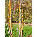 aspen tree botanic botanical garden ebbotfph yellowfph yellow bark