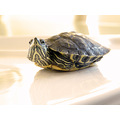 Turtle Animal pet