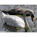 mute swan bird white waterfowl water adult