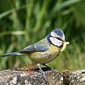 sweetsaturday blue tit luxembourg