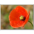 orange poppy blind eyes wildflower