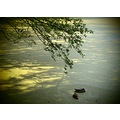 lake pollen duck shadow prague bohemia