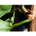 Insect young Praying Mantis pose photo garden perth littleollie
