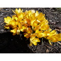 crocus yellow cluster